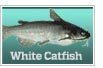 White catfish