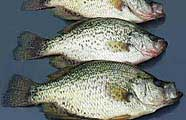 Crappie make a great fish fry